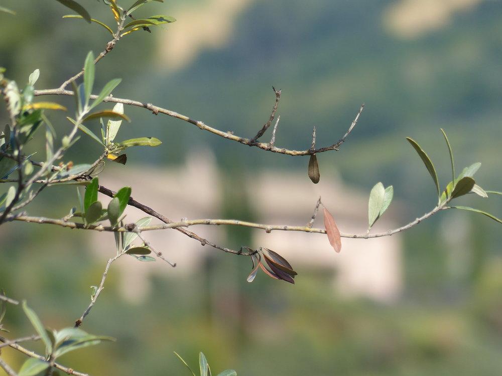 Olive branch in Spello, Umbria