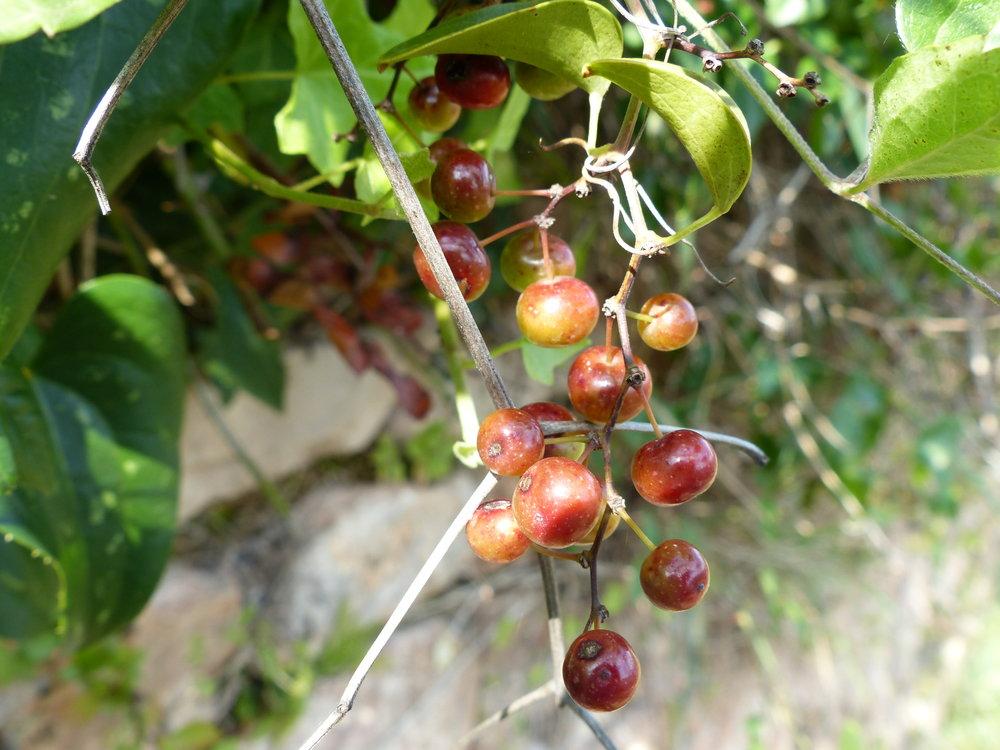 spello-aqueduct-berries.JPG