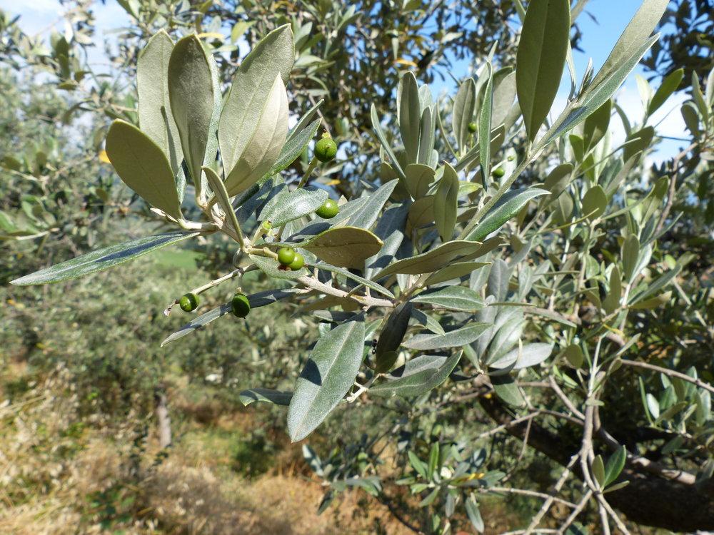 spello-aqueduct-olives.JPG