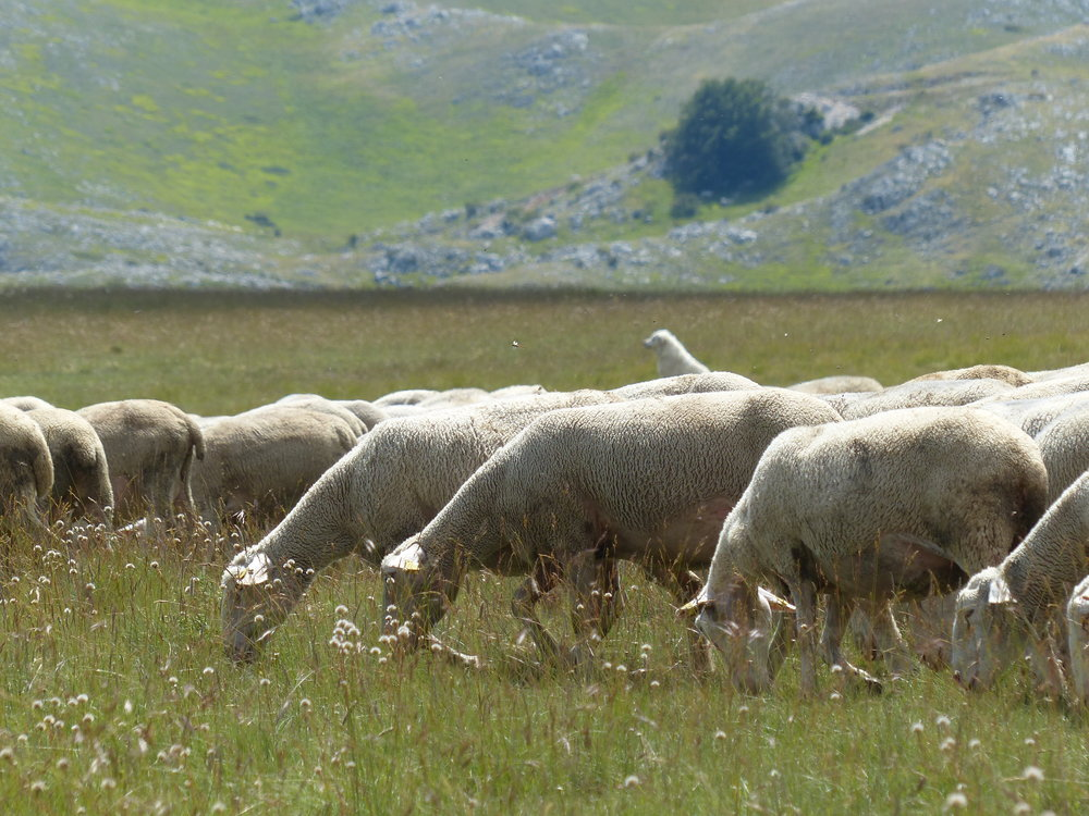 mucciante-sheep-light.JPG