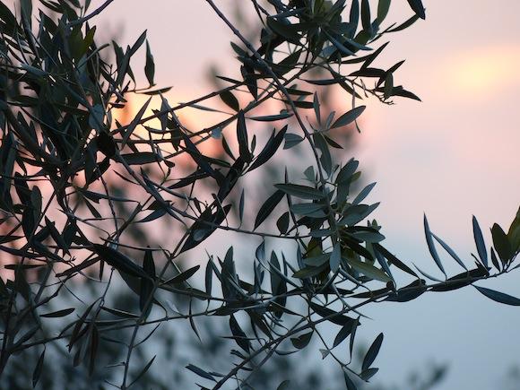 Spello, olive trees, Umbria