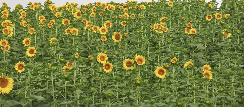 Sunflowers in Le Marche, Italy