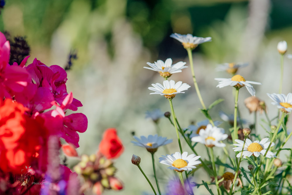 Daisies in the garden of four seasons hotel Hampshire by Amy James photography