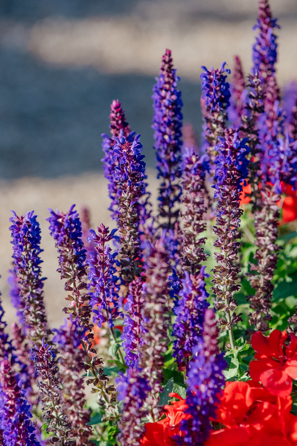 lavender in the garden of Four Seasons Hotel Hampshire by Amy James photography