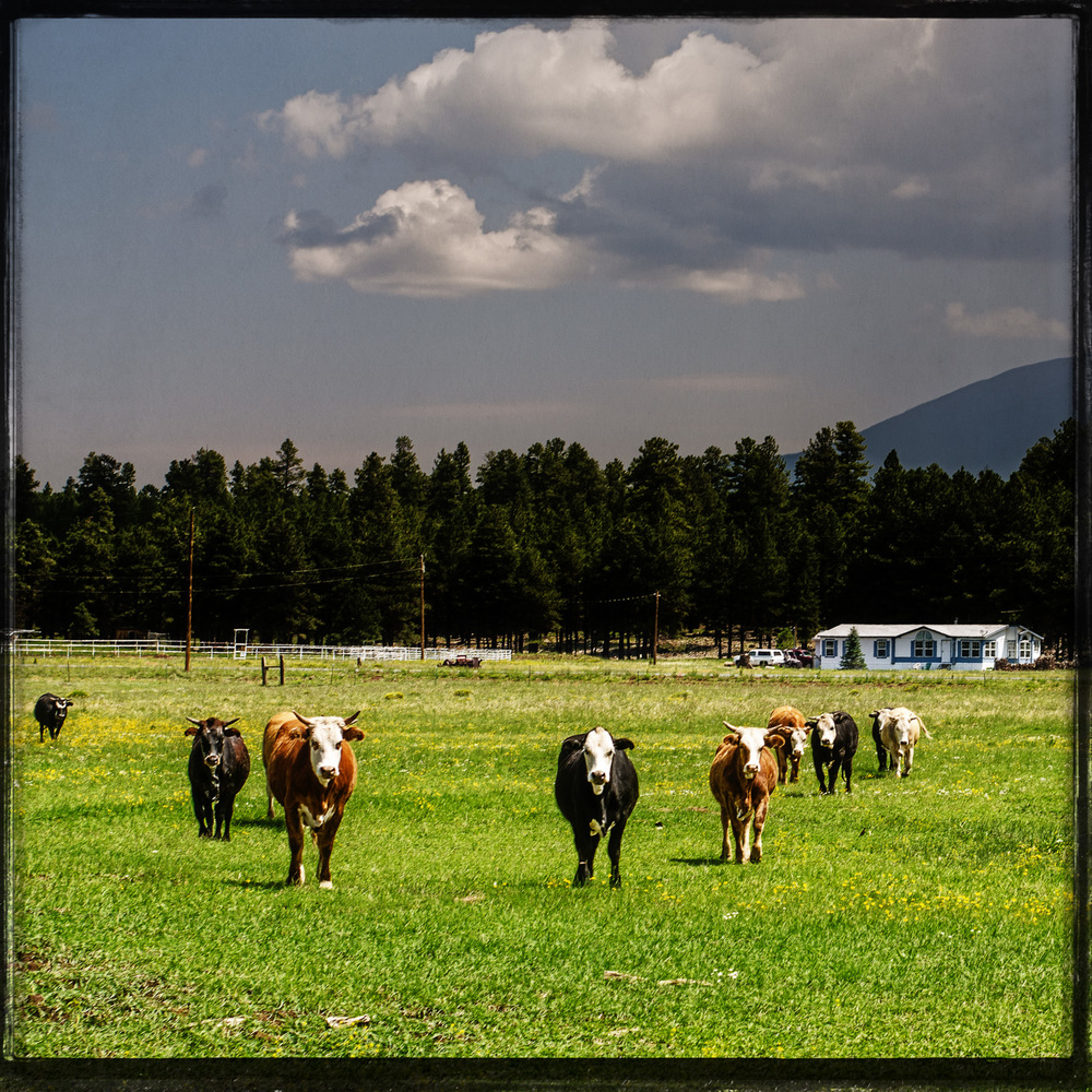 The Grazing Cows of Parks in The Pines Route 66