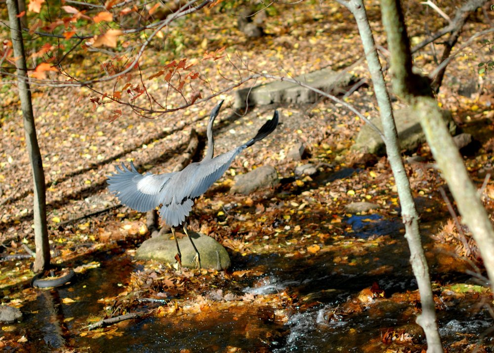 Blue Heron (Photo: Meredith Sorensen 2012)