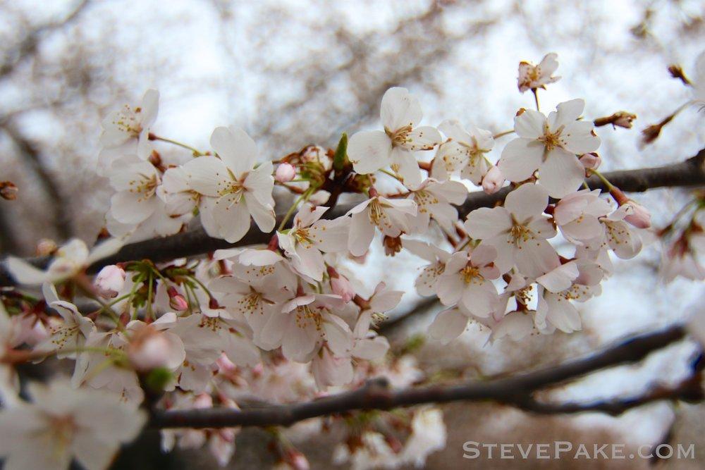 GE3A5718ap-2k_DC-Cherry-Blossoms-WM.jpg
