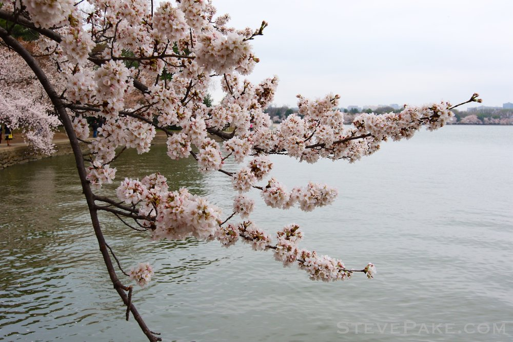 GE3A5723ap-2k_DC-Cherry-Blossoms-WM.jpg
