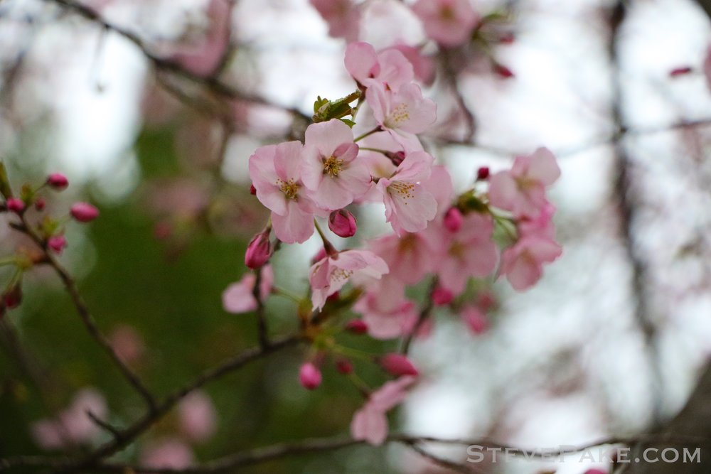 GE3A5736ap-2k_DC-Cherry-Blossoms-WM.jpg