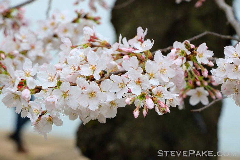 GE3A5789ap-2k_DC-Cherry-Blossoms-WM.jpg