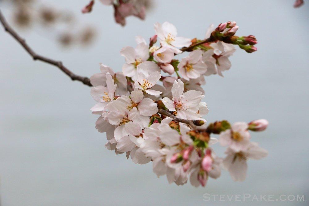 GE3A5792ap-2k_DC-Cherry-Blossoms-WM.jpg