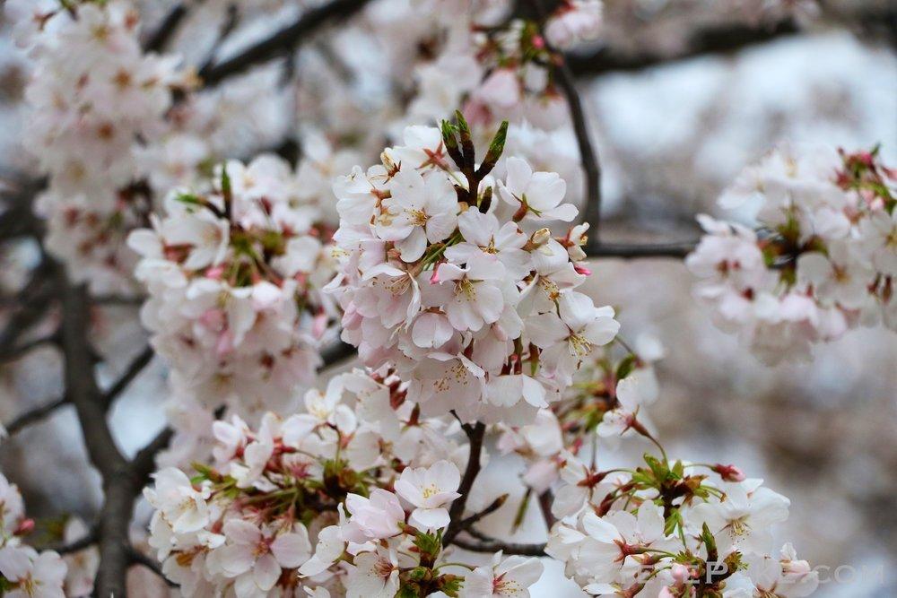 GE3A5795ap-2k_DC-Cherry-Blossoms-WM.jpg