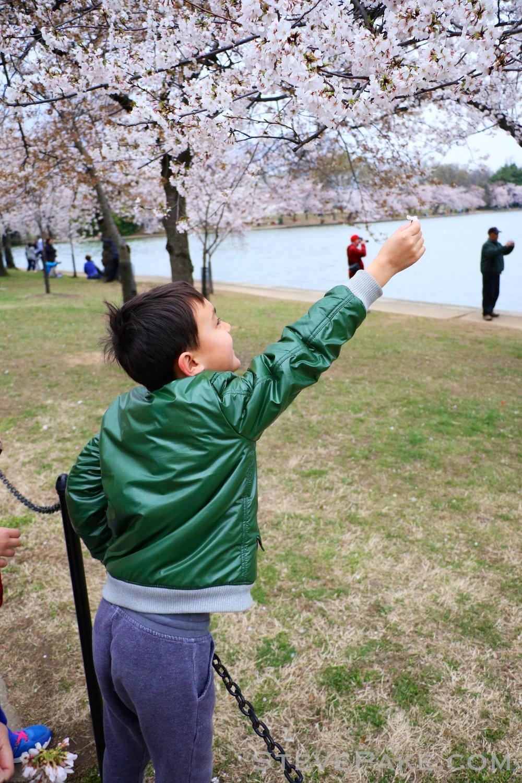 GE3A5797ap-2k_DC-Cherry-Blossoms-WM.jpg