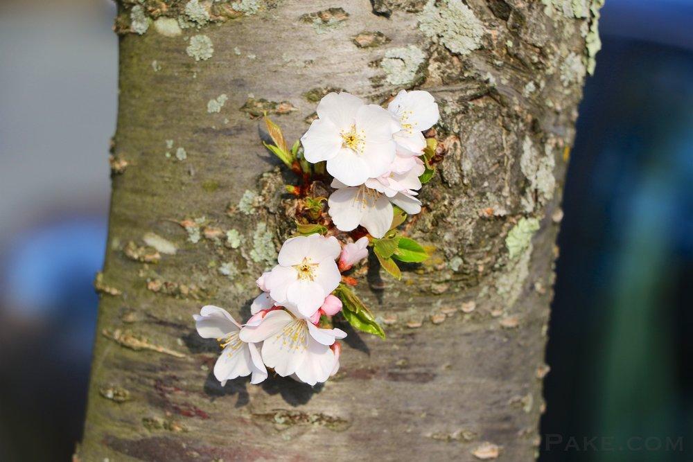 GE3A5887ap-2k_DC-Cherry-Blossoms-WM.jpg