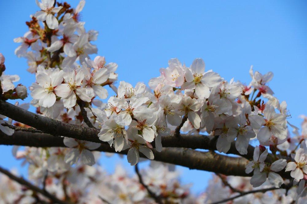 GE3A5890ap-2k_DC-Cherry-Blossoms-WM.jpg