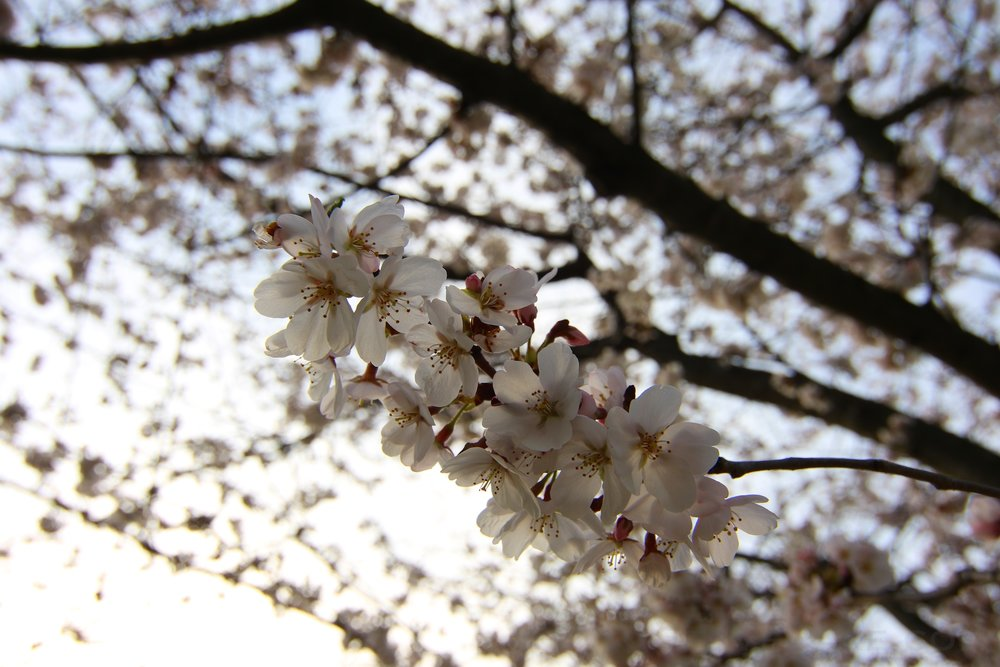 GE3A5900ap-2k_DC-Cherry-Blossoms-WM.jpg