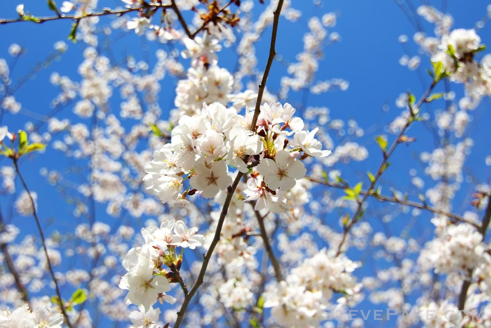 GE3A5908ap-2k_DC-Cherry-Blossoms-WM.jpg