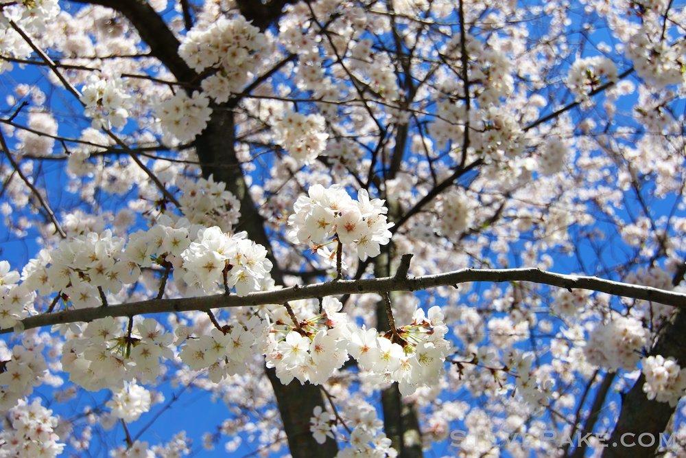 GE3A5915ap-2k_DC-Cherry-Blossoms-WM.jpg
