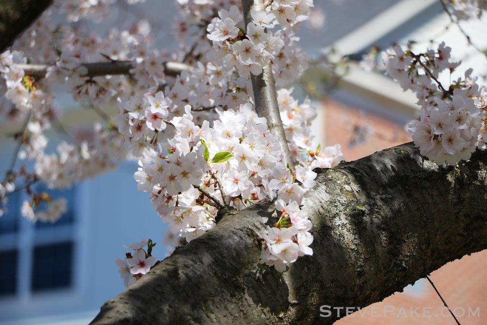 GE3A5917ap-2k_DC-Cherry-Blossoms-WM.jpg