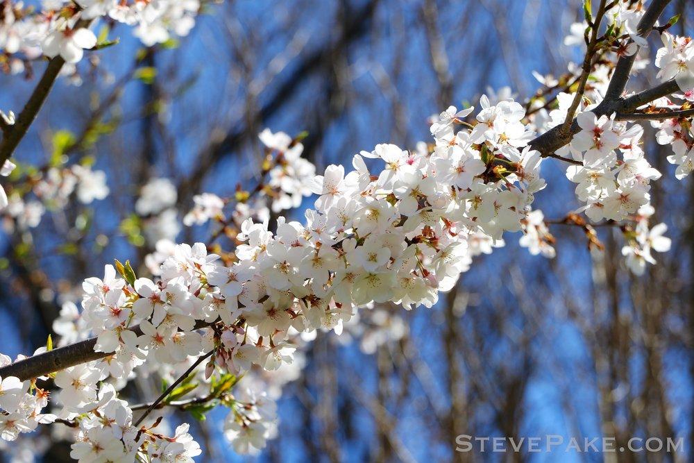 GE3A5919ap-2k_DC-Cherry-Blossoms-WM.jpg