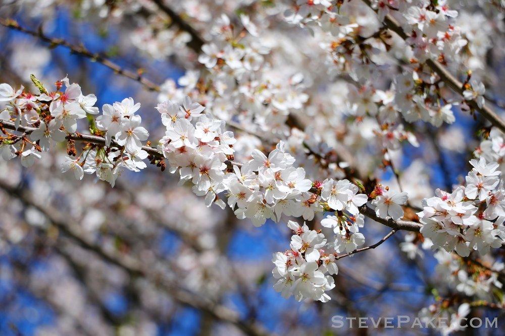 GE3A5920ap-2k_DC-Cherry-Blossoms-WM.jpg