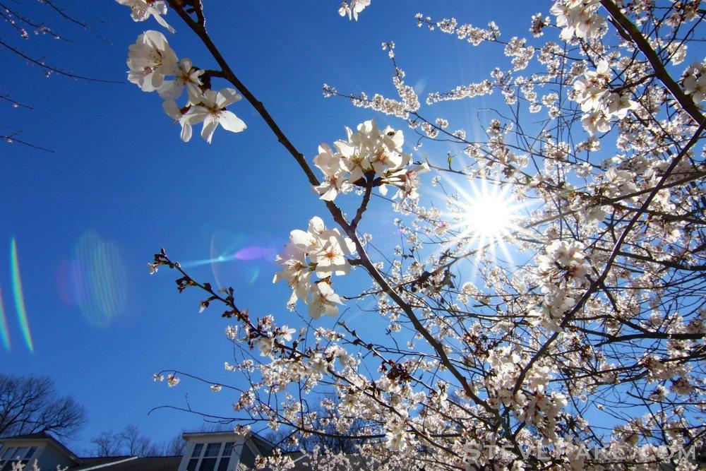 GE3A5928ap-2k_DC-Cherry-Blossoms-WM.jpg
