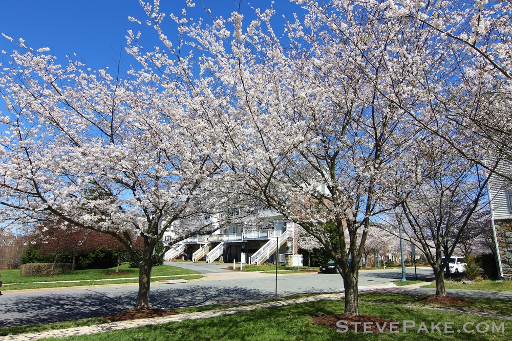 GE3A5926ap-2k_DC-Cherry-Blossoms-WM.jpg