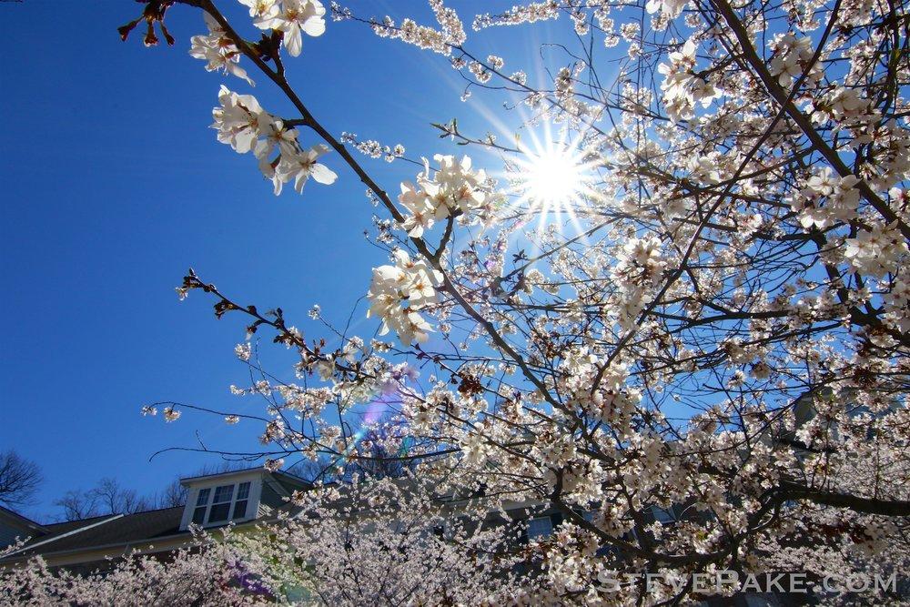 GE3A5932ap-2k_DC-Cherry-Blossoms-WM.jpg