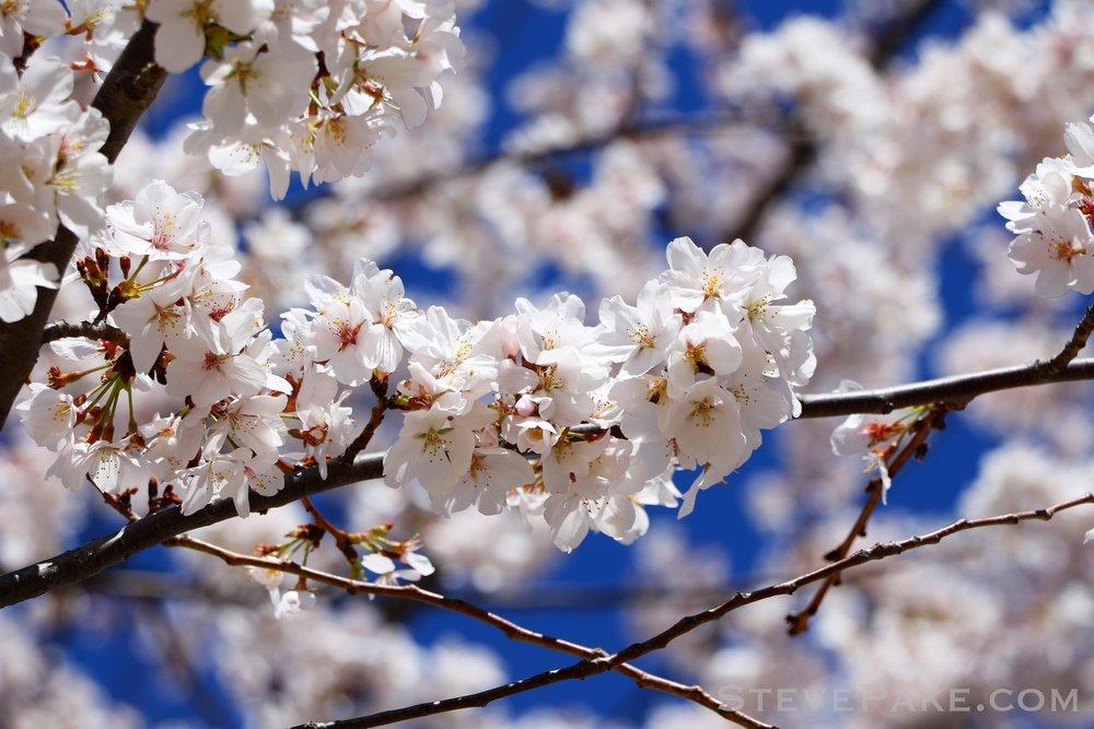 GE3A5938ap-2k_DC-Cherry-Blossoms-WM.jpg