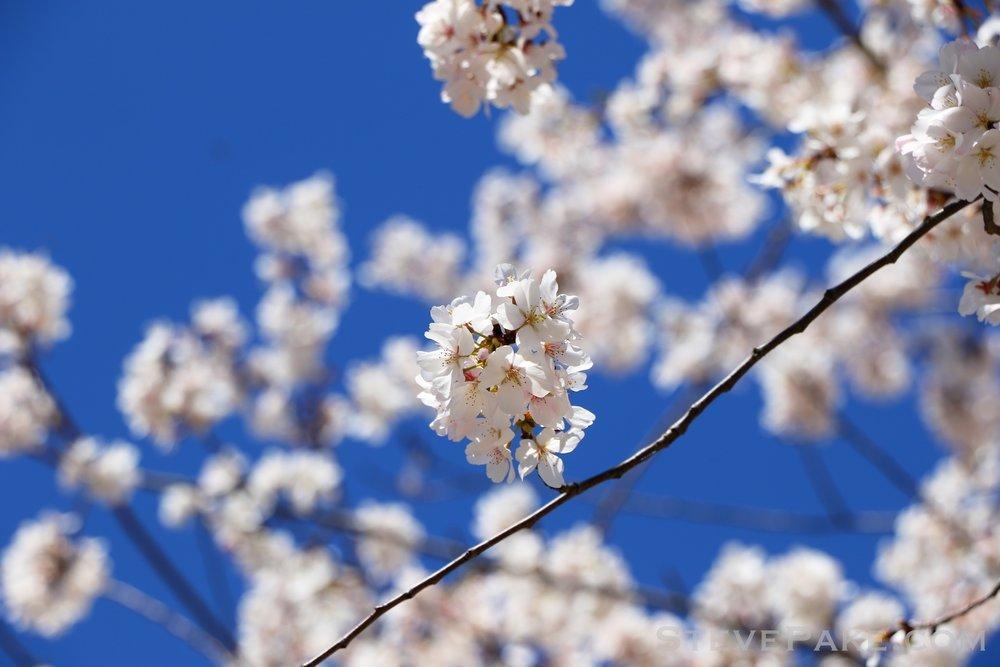 GE3A5939ap-2k_DC-Cherry-Blossoms-WM.jpg