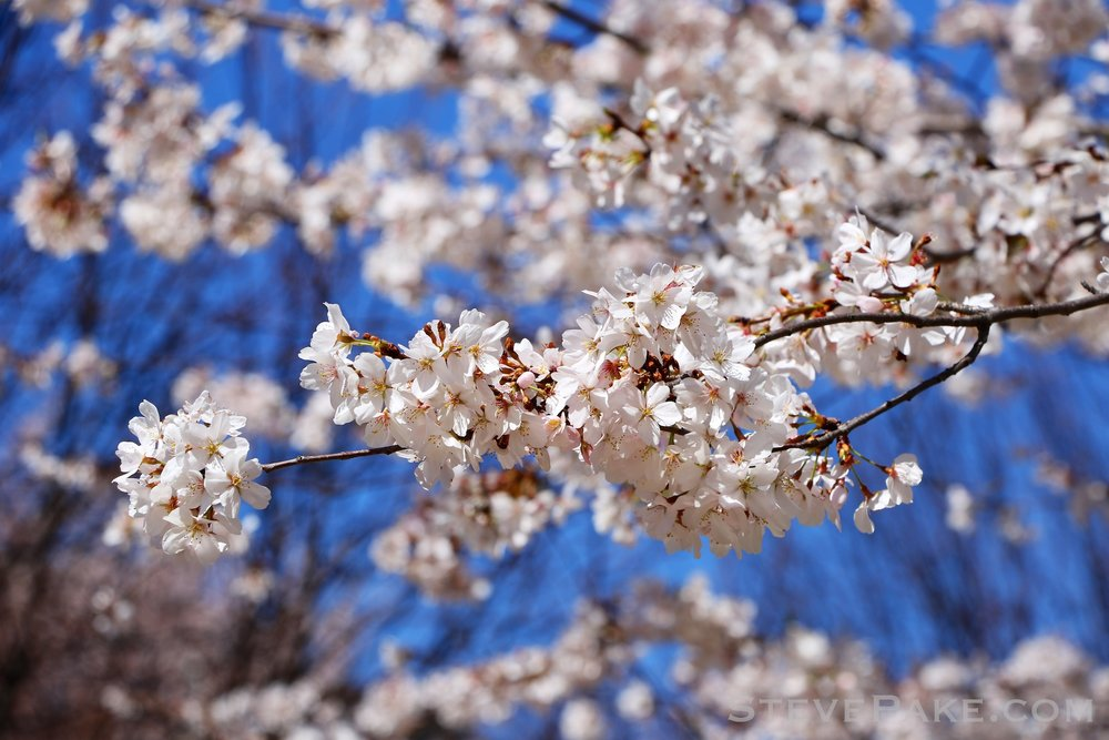 GE3A5940ap-2k_DC-Cherry-Blossoms-WM.jpg