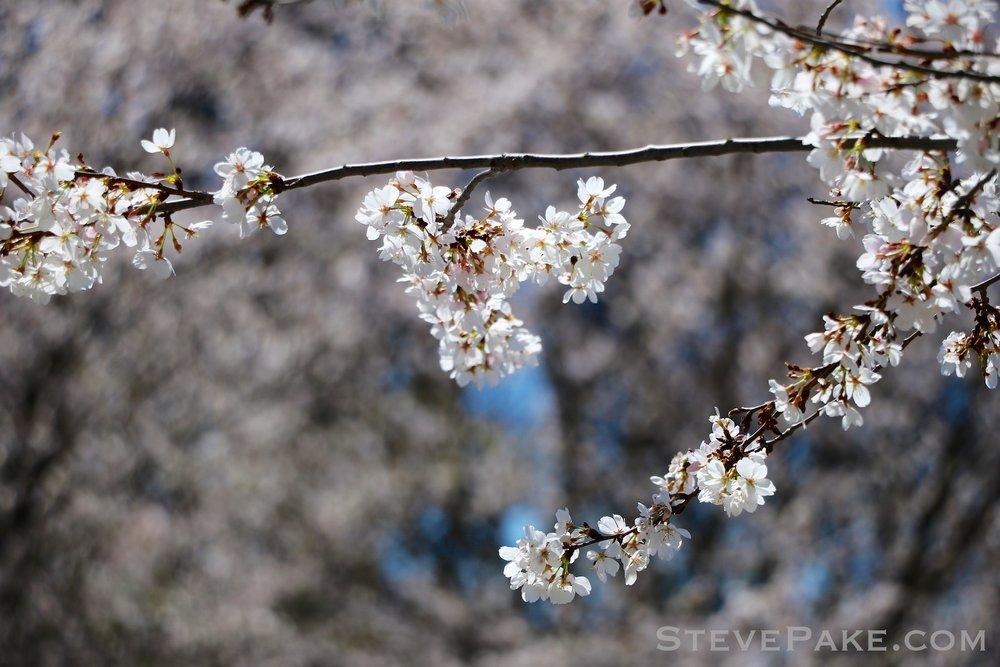 GE3A5942ap-2k_DC-Cherry-Blossoms-WM.jpg