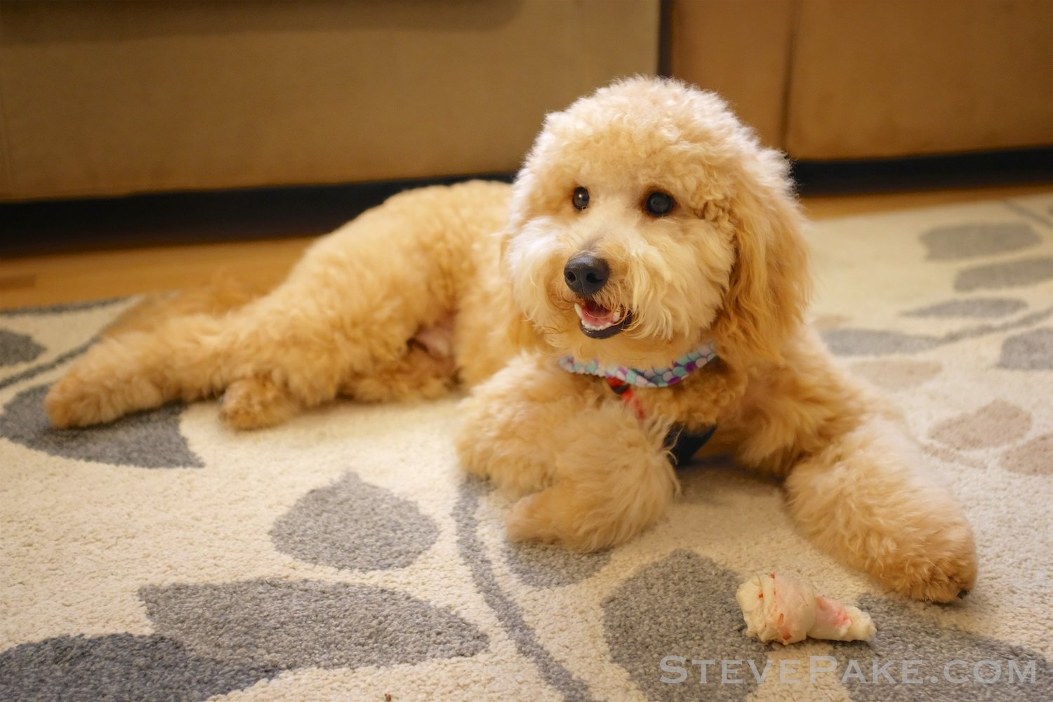 Our Mini Goldendoodle, Puffles — StevePake com: The Life of