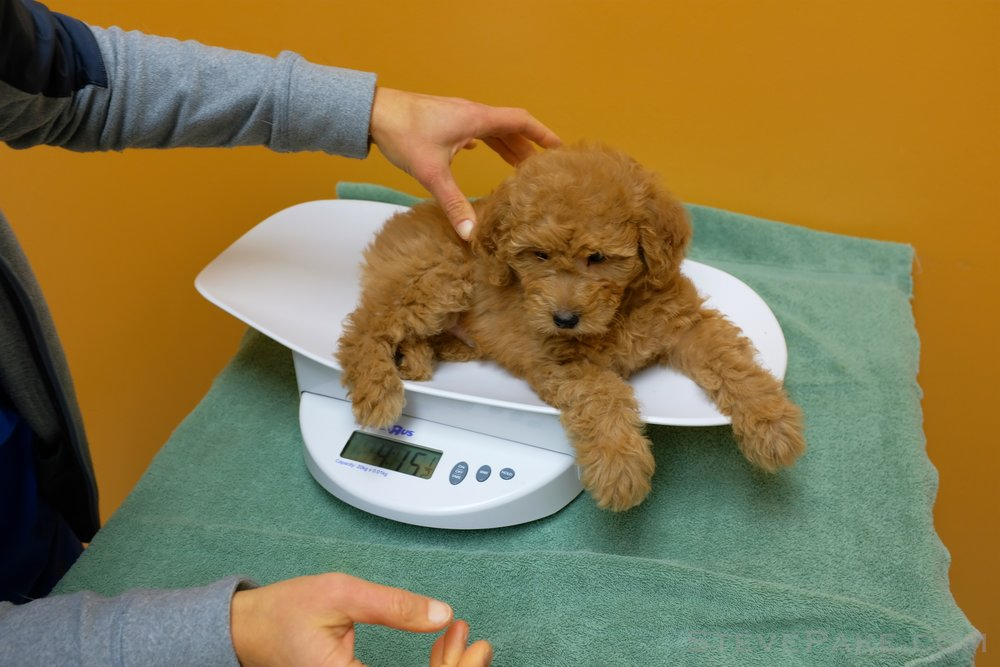 Our Mini Goldendoodle Puffles Stevepakecom The Life Of A Young