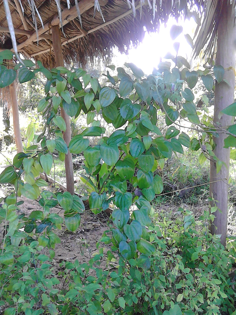 Wild Yam Pictures 008.jpg