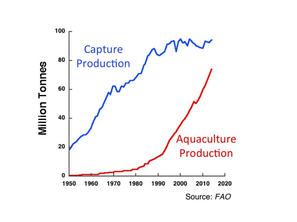 Aquaculture production expected to surpass capture production