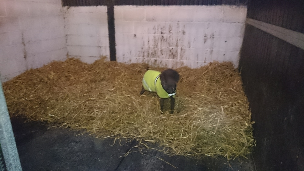 Straw bed ready for Alfie to come in, and Bizzy my German shorthaired pointer, demonstrating how hard she's finding it not to trash it!