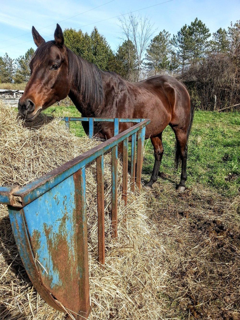 horses-1348287_1920.jpg