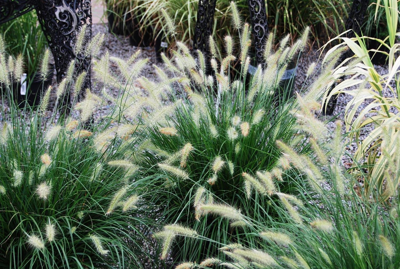 Ornamental Grasses Pauls plant picks week 7 ornamental grasses southwood landscape pauls plant picks week 7 ornamental grasses workwithnaturefo