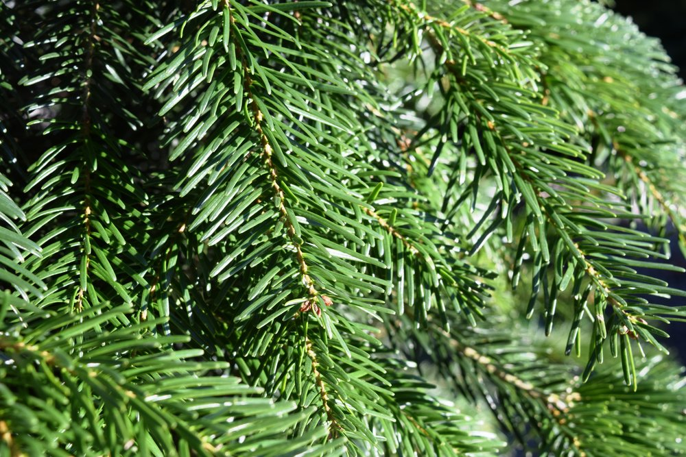 Nordmann Fir, Click for Detail