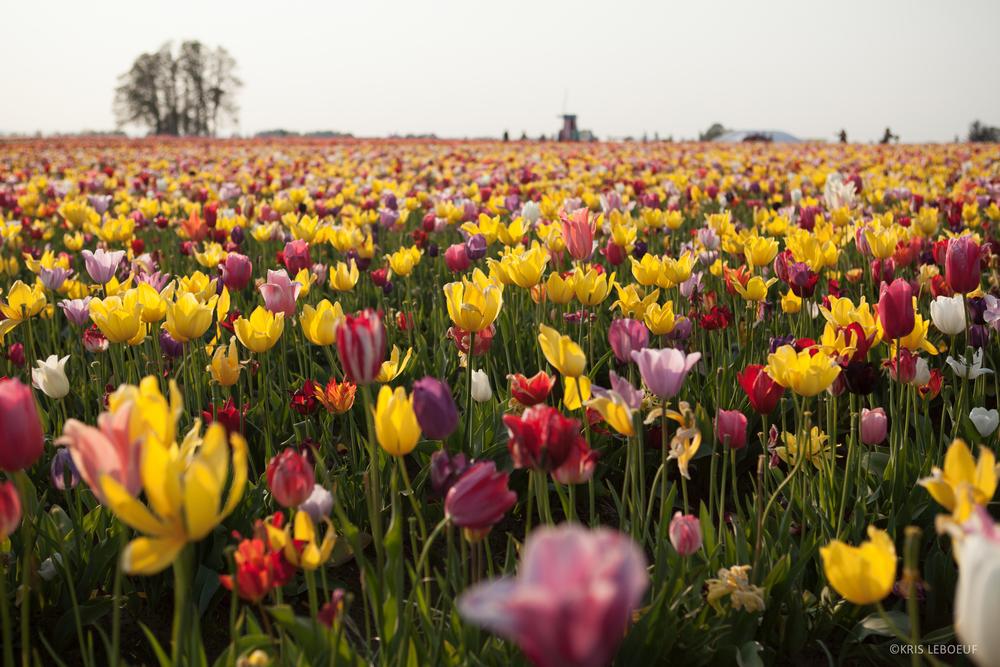 K_Leboeuf_Tulips-4964.jpg