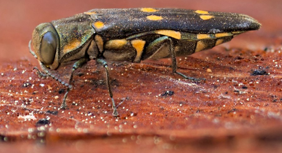 Goldspotted oak borer beetle. Courtesy Center for Invasive Studies Research/UC Riverside Mike Lewis
