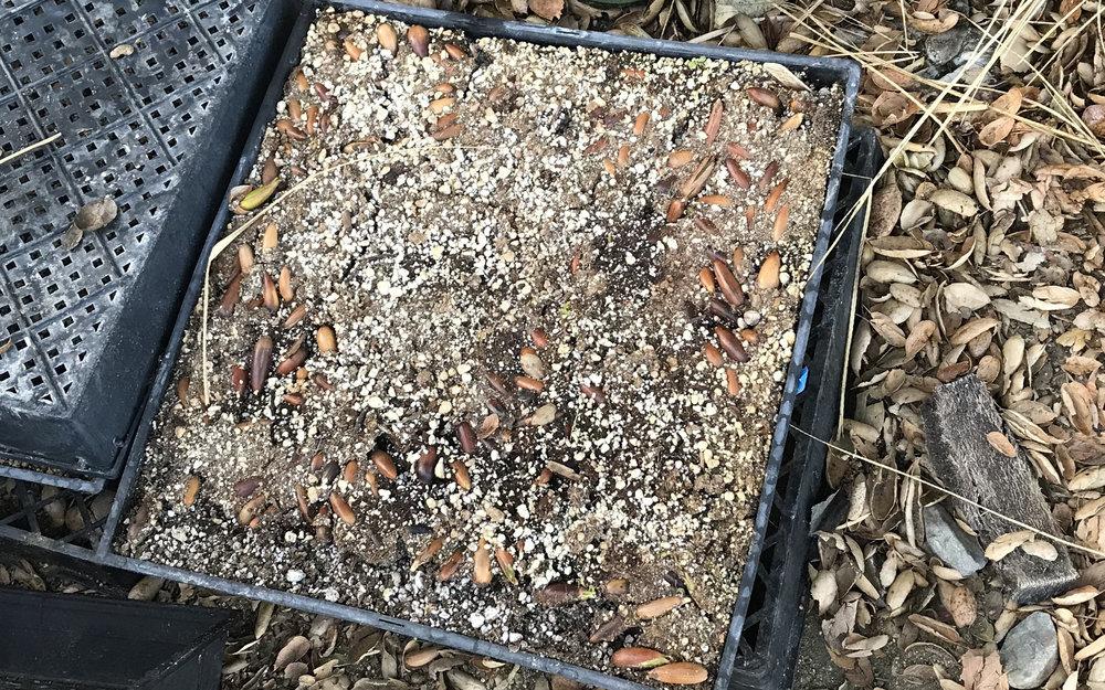 Acorns in a Flat