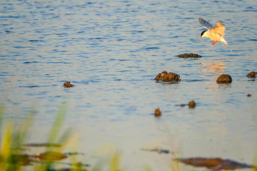 nature-bird-evening (4 of 10).jpg