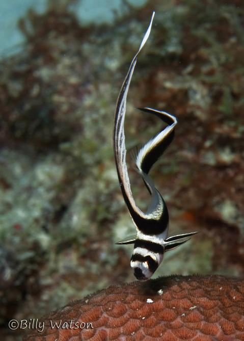 JuvenileDrumFish,SmallWall,PostOnWeb.JPG