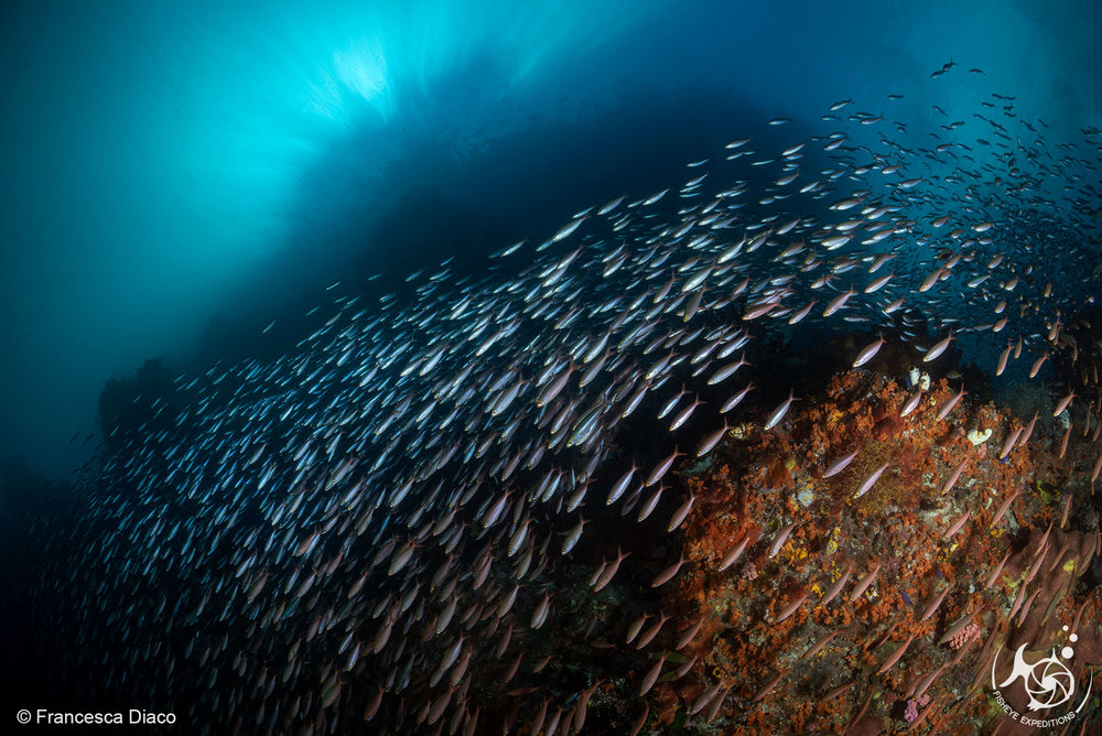 A massive school of fish cascading down the reef like a waterfall at Wedding Cake in Misool.