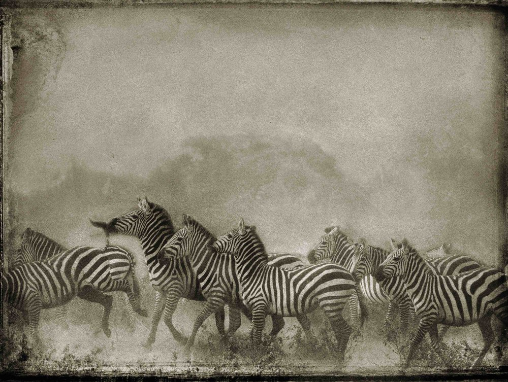 """""""Zebra Herd,"""" by PenRod Studios. All rights reserved."""