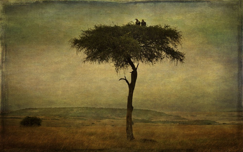 """""""Vultures in Tree,'"""" by PenRod Studios, All Rights Reserved"""