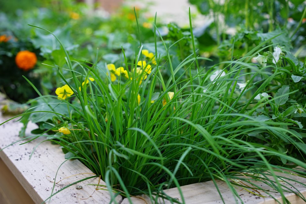 Alliums.jpg