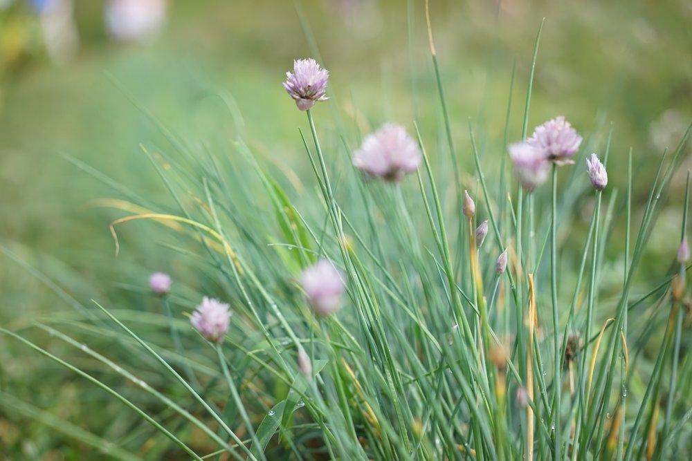 Alliums - Spring.jpg